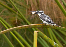 A Pied Kingfisher with it´s prey Royalty Free Stock Images