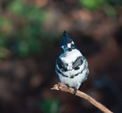 Pied Kingfisher seeking sympathy Stock Images