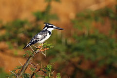 The pied kingfisher sitting on an acacia branch with spines with an orange green background. The pied kingfisher Ceryle rudis sitting on an acacia branch with Stock Photo