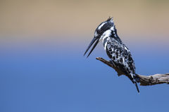Pied Kingfisher sitting on a branch to hunt for fish Stock Image