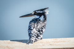 Pied Kingfisher sitting on a bridge in the Kruger. Royalty Free Stock Photo