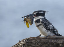 Pied Kingfisher with sizable catch in beak Royalty Free Stock Photography