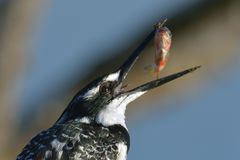 Pied Kingfisher with small fish on branch Stock Photo