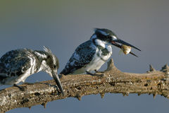 Pied Kingfisher with small fish on branch. Pied kingfishers with small fish on branch in nature reserve in south africa Stock Photography
