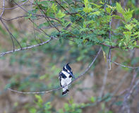 Pied Kingfisher Stock Image