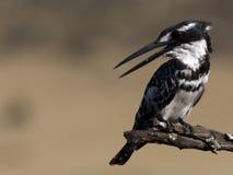 Pied Kingfisher dig som tar till mig Arkivfoto