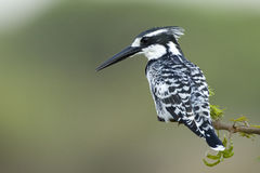 Pied Kingfisher, South Africa. Pied Kingfisher (Ceryle rudis) perched on a small twig in South Africa's Kruger Park Stock Photo