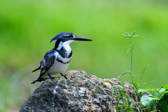 Pied Kingfisher Stock Photography