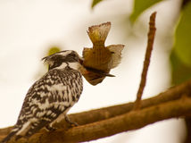 Pied Kingfisher with Tilapia fish. A Pied Kingfisher with a huge catch which will cause serious problems to be swallowed Stock Image