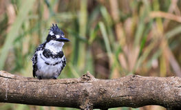 Pied Kingfisher on tree Stock Image