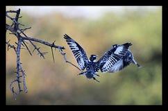 Pied Kingfisher Royalty Free Stock Photo