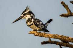 Pied Kingfisher - Birds of Pakistan stock photography