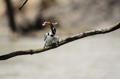 Pied Kingfisher wrestling with its catch Royalty Free Stock Images