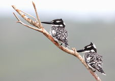 Pied Kingfishers Stock Images