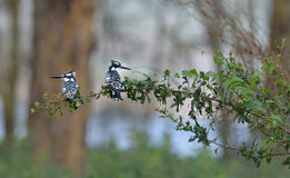 Pied Kingfishers Royalty Free Stock Photography