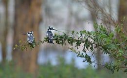 Pied Kingfishers Стоковая Фотография RF