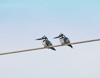 Pied Kingfishers in The Gambia Stock Image