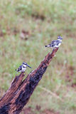Pied kingfishers Stock Image