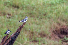 Pied kingfishers pair Royalty Free Stock Image