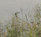 Pied kingfishers perched on reeds Stock Photos