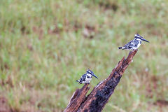 Pied kingfishers perching Stock Photography
