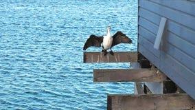 Pied kormoran osuszki skrzydła