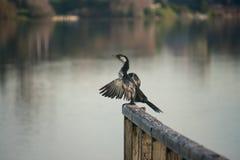 Pied kormoransammanträde på träräcket Royaltyfria Foton