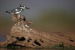 Pied kungsfiskare, Cerylerudis Arkivfoto