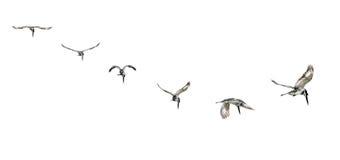 Pied kungsfiskare i mitt- flyg Arkivfoton