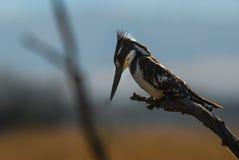 Pied kungsfiskare i södra afriica Royaltyfri Fotografi