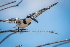 Pied kungsfiskare som flyger bort i den Kruger nationalparken Arkivfoton