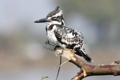 Pied kungsfiskarefågel Fotografering för Bildbyråer