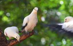 Pied lmperial pigeon or Ducula bicolor Royalty Free Stock Photography