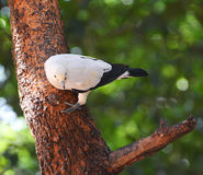 Pied lmperial pigeon or Ducula bicolor Stock Photography