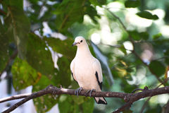Pied lmperial pigeon or Ducula bicolor Stock Photo