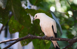 Pied lmperial pigeon or Ducula bicolor. On a branch of a tree Stock Image