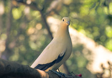 Pied lmperial pigeon or Ducula bicolor Royalty Free Stock Photo