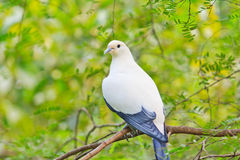 Pied lmperial pigeon or Ducula bicolor. In the Southeast Asia forest Royalty Free Stock Photo