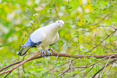 Pied lmperial pigeon or Ducula bicolor. In the Southeast Asia forest Stock Images