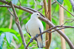 Pied lmperial pigeon or Ducula bicolor. In the Southeast Asia forest Stock Photo
