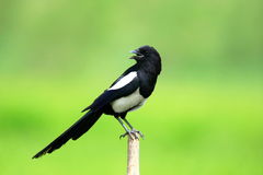 The pied magpie Stock Photo
