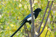 Pied magpie Royalty Free Stock Photos