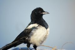 Pied magpie Stock Photos
