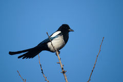 Pied magpie. The black pied magpie with white abdomen Stock Image