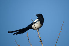 Pied magpie Stock Photography