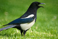 Pied magpie Royalty Free Stock Image