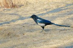 Pied magpie. The close-up of a pied magpie stands on winter grassland. Scientific name Royalty Free Stock Photo