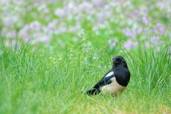 Pied magpie. The close-up of pied magpie stands in spring grassland Stock Image