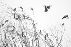 Pied magpie Stock Images