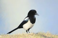 Pied magpie. A pied magpie stands on grassland. Scientific name: Pica pica Stock Image